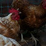 3117221328_f705274c4a_q_chicken